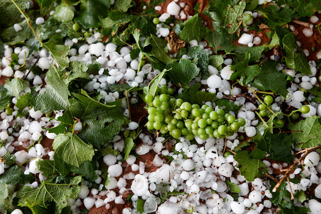 Viine foliage and smahed grapes laying on the ground after a severe hail storm. Australian weather photos by Excitations.