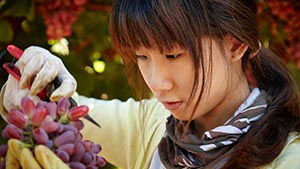Young woman triming bunch of grapes in vineyard. Sock pictures of Australia at Excitations-stock.com